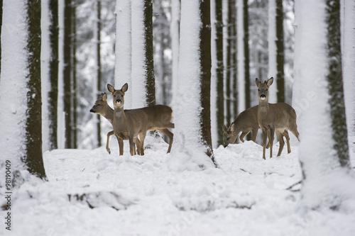 Foto op Plexiglas Ree chevreuils dans la neige en hiver