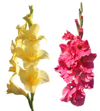Yellow And Pink Gladiolus Isolated