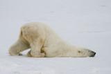 a silly polar bear pushes across the snow on his belly. - 98206632