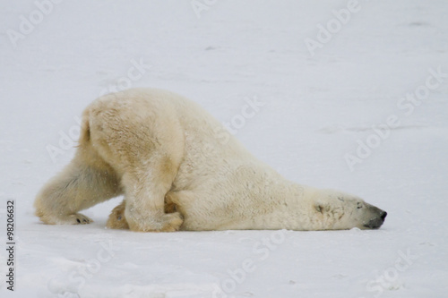 a silly polar bear pushes across the snow on his belly. Canvas Print