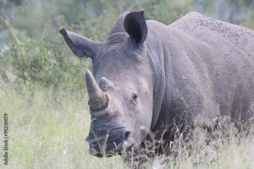 Fotografie, Obraz  Rhinoceros