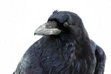 Raven Portrait White Background