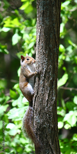 Fotobehang Eekhoorn Squirrel climbing a tree at Monte Sano State Park in Alabama