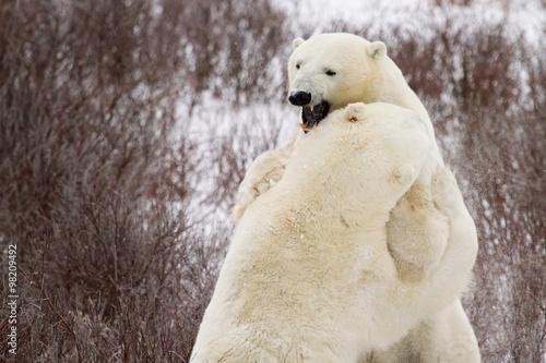 Fotografie, Obraz  polar bears sparring in bushes