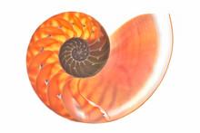 Nautilus Shell Cross Section