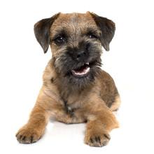 Growling Border Terrier
