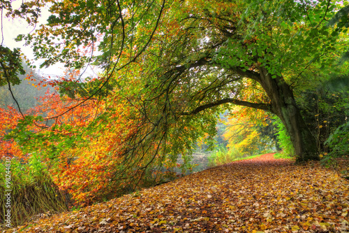 Poster Miel Path under a big autumn tree in het Amsterdamse bos (Amsterdam wood) in the Netherlands.