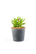 Succulent plant in plant pot isolated white background
