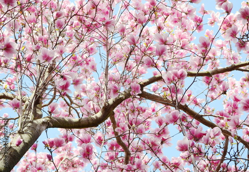Plakat kwiat drzewa magnolii