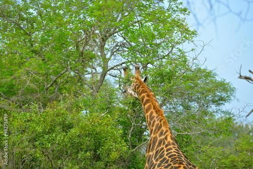 Girafe, Afrique, de dos Poster