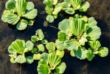 Green Pistia Stratiotes, Green Floating Water Lettuce