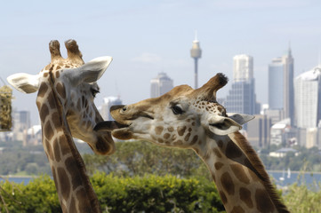 Two giraffe at Sydney zoo, Australia.