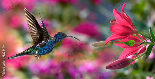 Foto op Canvas Vogel Male violet sabrewing (Campylopterus hemileucurus) in flight