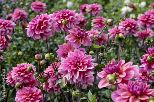 Photo sur Toile Dahlia dahlia farm garden