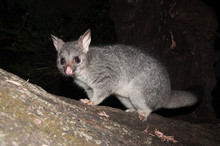 Bush Tailed Possum Climbing Do...