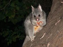 Bush Tailed Possum Eating Frui...