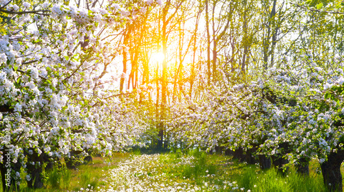 Staande foto Tuin Blooming apple trees at spring