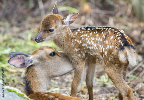 Fawn and mom deer licking, focus on baby eye Poster