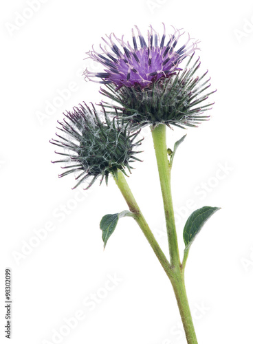 Fotografie, Tablou burdock lilac bloom and bud isolated on white