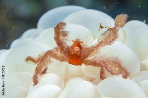 Red orang utan crab on hard coral macro