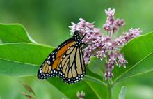 Monarch Butterfly On Milkweed ...