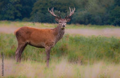 Poster Deer Deer, horns