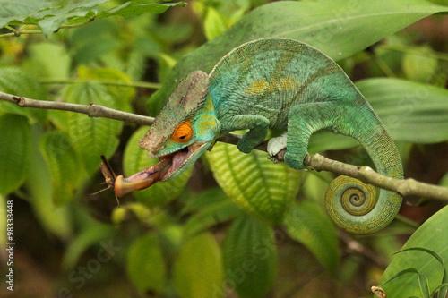 Staande foto Kameleon Camaleão em Madagascar
