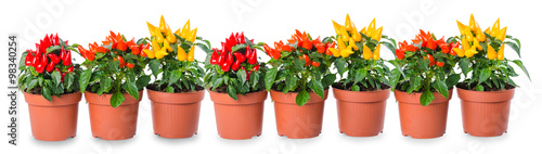 Montage in der Fensternische Hot Chili Peppers red, orange, yellow hot chili peppers in pot is isolated on whit