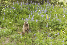 Marmot Amidst The Lupine