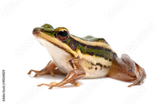 Ingelijste posters Kikker green frog (green paddy frog) on white background
