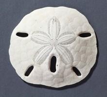 Sand Dollar (keyhole Urchin)