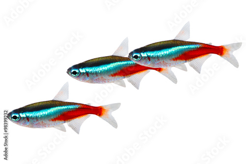 Swarm of Neon Tetra Paracheirodon innesi freshwater fish isolated