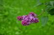 Blooming lilac purple flower