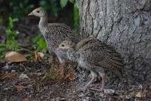 North American Wild Turkeys, Baby Birds With Juvenile Plumage, Standing At The Base Of An Oak Tree