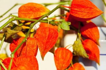 Chinese lantern plant - orange Lampionblume