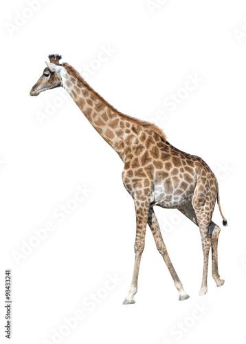 Poster Giraffe Giraffe isolated on white background