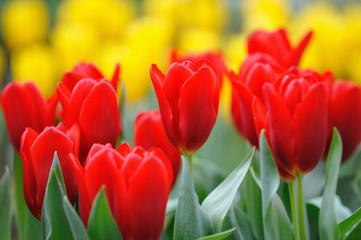 Fototapeta Tulipany チューリップ
