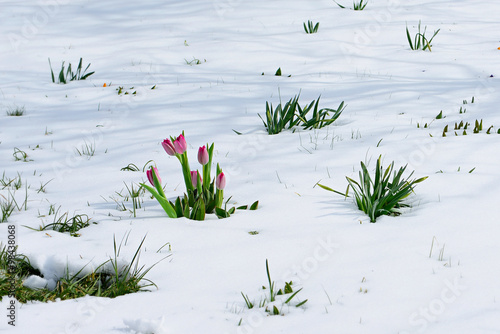 Photo Stands Lily of the valley snowdrops crocus flowers in the snow Thaw