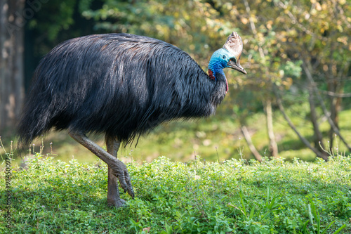 cassowary giant bird portrait close up