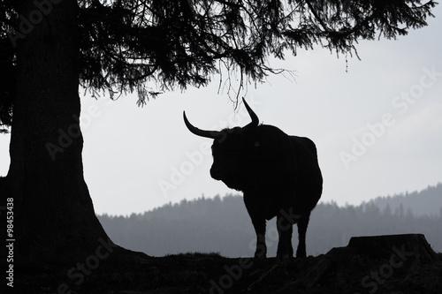 Fényképezés  Stier Silhouette