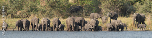Herd of elephants drinking at the river side #98459014