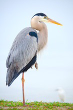 Portrait Of Great Blue Heron Resting On One Leg Standing In The Grass Along A River Shoreline