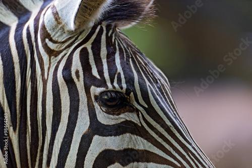 Poster Zebra Zebra in the Masai Mara