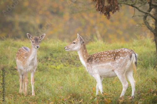 Fallow deer fawn in Autumn плакат