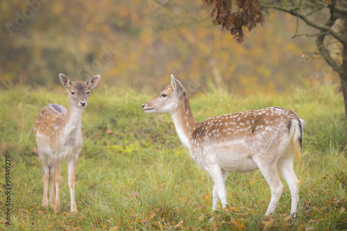 Fallow deer fawn in Autumn Poster