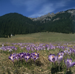 Fototapeta Do hotelu Poland. Tatra National Park. There are Crocus scepusiensis flowers (synonym of Crocus vernus) in Chocholowska Valley.