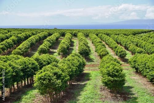 Photo  A coffee plantation in Kaanapali near Lahaina in Maui, Hawaii