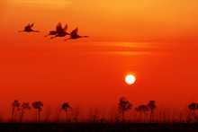 Red-crowned Crane Flying In The Sunset Background.