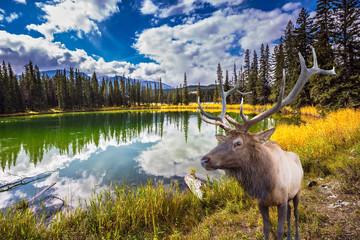 Obraz na Plexi Proud deer antlered and round lake