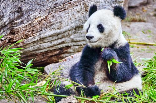 Fotografia, Obraz  Cute bear panda actively chew a green bamboo sprout.